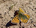 Перламутровка блестящая - Issoria lathonia - Queen of Spain Fritillary - Обикновена седефка - Kleiner Perlmutterfalter (33869201501).jpg