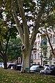 Платан западный (сквер Оперного театра, №2). Фото 4.jpg