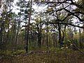 Старая дубовая аллея. - panoramio.jpg