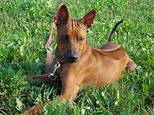 тайский хэтчбек собака фото