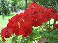 Цвеќиња - с. Мажучиште - Прилеп (12).JPG