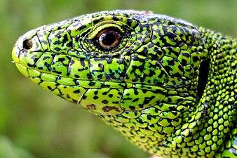 Ящірка зелена (Lacerta viridis).jpg