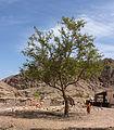 شجرة داخل منطقه بير زغير.jpg