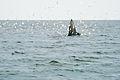 ปลาวาฬบรูด้า.jpg