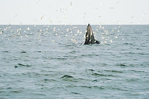Gulf of Thailand - Eden's whale feeds in the gulf