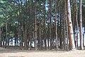 พระตำหนักเขาค้อ Pine forest - panoramio.jpg
