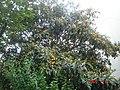 东京街头的枇杷挂满枝头,不知是谁家的? - panoramio.jpg