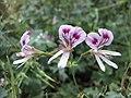 大花天竺葵 Pelargonium grandiflorum -倫敦植物園 Kew Gardens, London- (9252393695).jpg