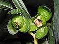 春蘭玉玲瓏 x 報歲矮種 Cymbidium goeringii x sinense -香港沙田國蘭展 Shatin Orchid Show, Hong Kong- (12316681575).jpg