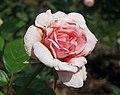 月季-天使臉 Rosa Angel Face -深圳人民公園 Shenzhen Renmin Park, China- (28956687378).jpg