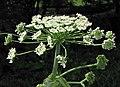 獨活屬 Heracleum persicum -華沙大學植物園 Warsaw University Botanic Garden- (35652762853).jpg