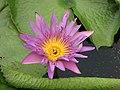 睡蓮-貴族 Nymphaea Patricia -深圳洪湖公園 Shenzhen Honghu Park, China- (9198146815).jpg