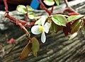 秋海棠屬 Begonia foliosa -新加坡濱海灣花園 Gardens by the Bay, Singapore- (24393576573).jpg
