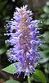 茴藿香 Agastache foeniculum -香港公園 Hong Kong Park- (9320980834).jpg