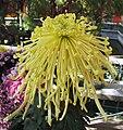 菊花-國華黃金 Chrysanthemum morifolium 'Gold' -香港圓玄學院 Hong Kong Yuen Yuen Institute- (11961471603).jpg