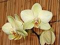 蝴蝶蘭 Phalaenopsis Odoriko -香港動植物公園 Hong Kong Botanical Garden- (9216068558).jpg