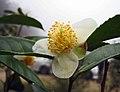 青心烏龍茶 Camellia sinensis 'Cingsin Oolong' -台灣清境農場 Cingjing Farm, Taiwan- (15505783617).jpg