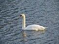 -2020-12-01 A swan on the Mere, Baconsthorpe Castle.JPG