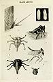 05-Indian-Insect-Life - Harold Maxwell-Lefroy - Oxyrhachis-tarandus.jpg