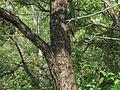 1-Acacia ferruginea 03.JPG