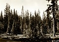 1930. Whitehorse lodgepole pine stand. Crater Lake National Park. (40669995142).jpg