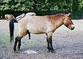 1995 Przewalski Zoo-Leipzig.jpg