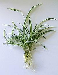 2007-06-24-Chlorophytum comosum-light.jpg