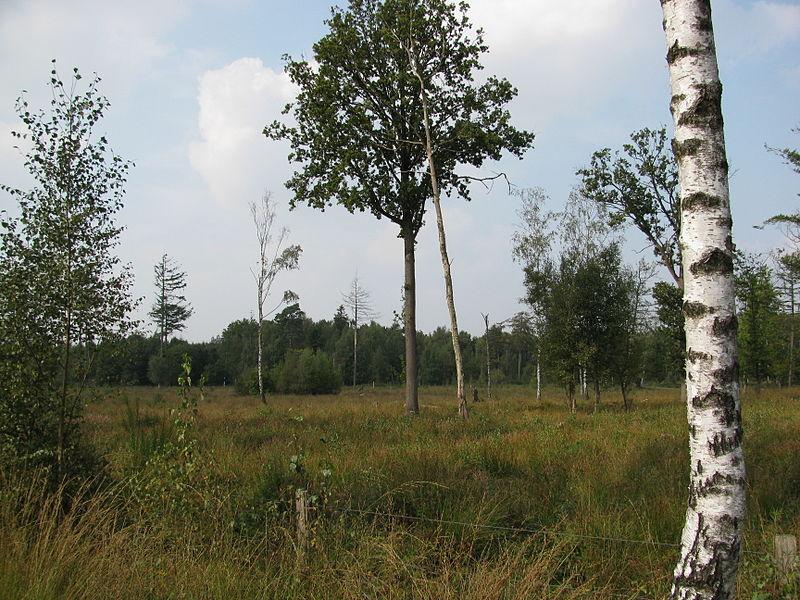 In het Drongengoedbos worden bepaalde gedeelktes weer tot heide omgevormd.