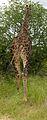 2013-02-24 10-04-31 South Africa Mpumalanga - Kruger National Park 5h.JPG