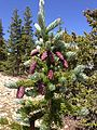 2013-07-14 11 03 15 Immature Engelmann Spruce cones along the Wheeler Peak Summit Trail.jpg