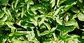 2014-06-02 13-11-28 calopteryx-virgo.jpg