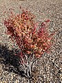 2014-09-28 12 31 38 Euonymus showing autumn foliage coloration in Elko, Nevada.JPG