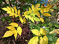 2014-10-29 13 07 54 Green Ash foliage during autumn leaf coloration and other small tree foliage in Ewing, New Jersey.JPG