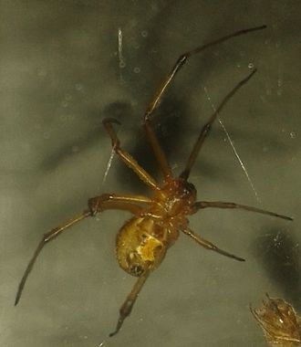 Latrodectus geometricus - Brown widow spider found in Cairo, Egypt