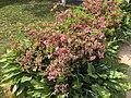 2015-05-13 15 53 20 Rosebud Azaleas beginning to bloom in Ewing, New Jersey.jpg