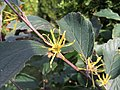 2016-10-20 14 08 22 American witch-hazel blossoms along Tranquility Court in the Franklin Farm section of Oak Hill, Fairfax County, Virginia.jpg