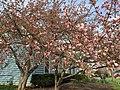2017-04-10 17 28 55 Kanzan Japanese Cherries starting to bloom along White Barn Lane at White Barn Court in the Franklin Farm section of Oak Hill, Fairfax County, Virginia.jpg