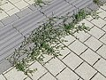 2017-09-28 (483) Polygonum aviculare (common knotgrass) over tactile paving at Bahnhof Stockerau.jpg