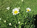 20180508Leucanthemum vulgare1.jpg