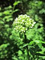 20180603Valeriana officinalis.jpg