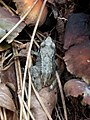 20180930 Leeuwenhorstbos - Bruine kikker (Rana temporaria).jpg