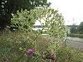 20200728Valeriana officinalis2.jpg
