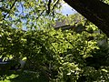 2021-05-01 16 39 27 Green Japanese Maple under a Pin Oak during late spring along Ladybank Lane in the Chantilly Highlands section of Oak Hill, Fairfax County, Virginia.jpg