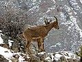 3 Bezoar Goat.jpg