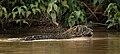 6046 Pantanal jaguar JF5.jpg