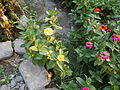 6822jfUnidentified Zinnias Angelesfvf 08.JPG
