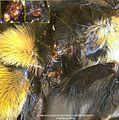 7-Scutacarus acarorum Bombus affinis lateral mesosoma BMOC-15-0606-023.jpg