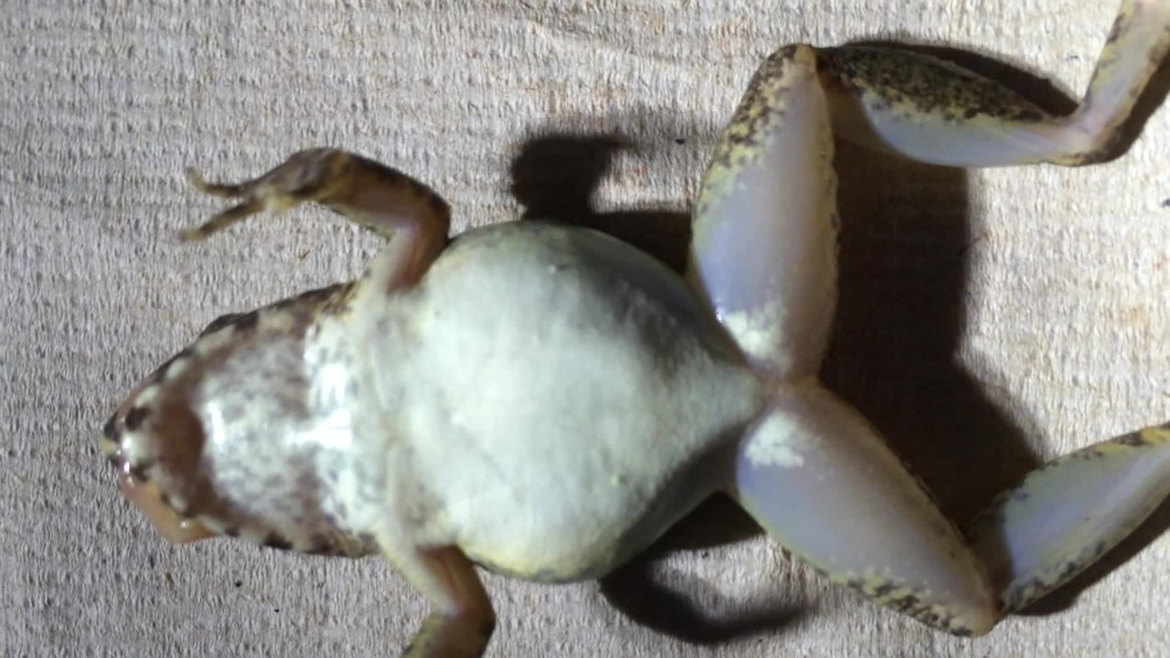 File A Novel Reproductive Mode In Frogs A New Species Of