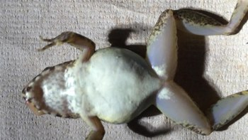 فائل:A-Novel-Reproductive-Mode-in-Frogs-A-New-Species-of-Fanged-Frog-with-Internal-Fertilization-and-pone.0115884.s001.ogv