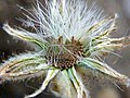 A.integrifolia-cap.-5c.jpg